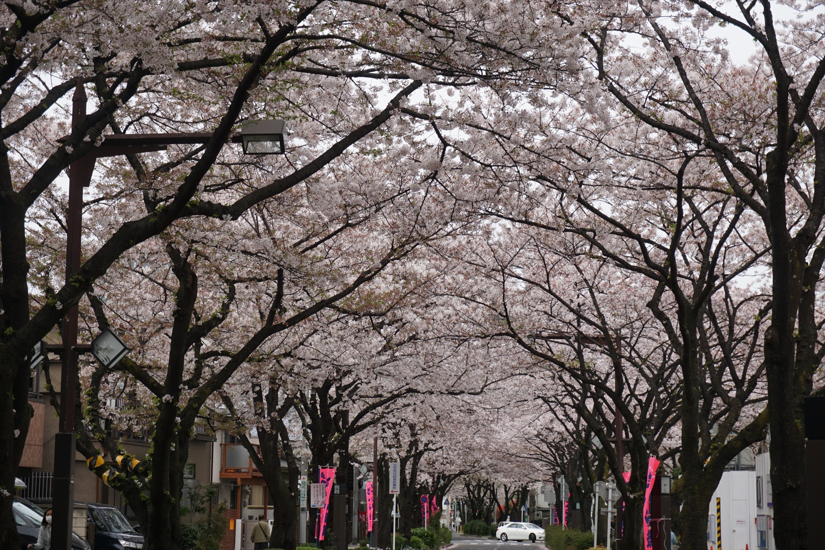 プレミアムおまかせオートで桜撮影